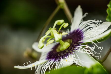 Passiflora foetida flower Stock Photo