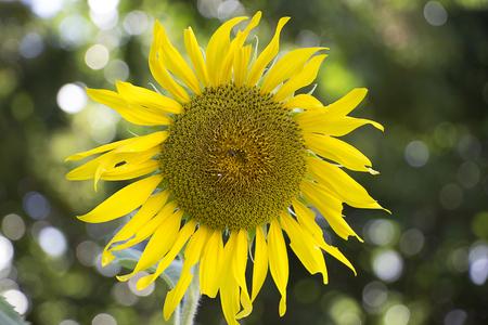 helianthus: sumflower in the garden