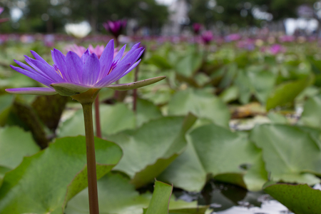 Lotus garden on the bright blue color of lotus makes the atmosphere very good