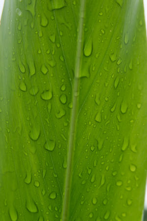 Blossom of galangal and leaf island water. Stock Photo