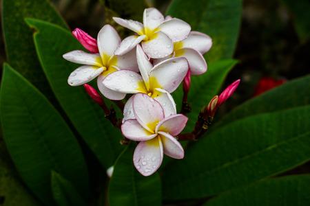 Champa Flower Pink Flower