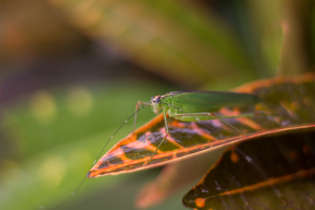 Grasshopper island on a green leaf is the background. Stock Photo