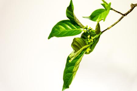 Ervatamia  leaf Stock Photo