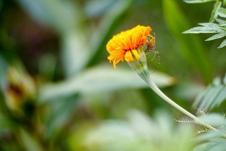Spider marigold Stock Photo