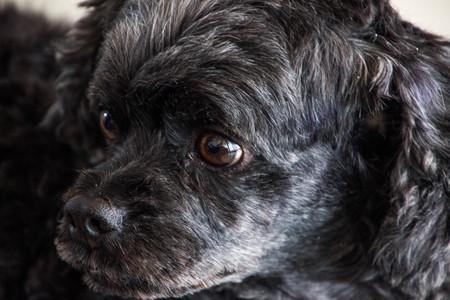 Black poodle dog is doing face skepticism.