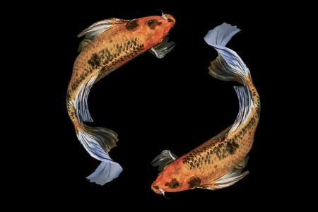 黒い背景に2匹の鯉の魚、カットパス。