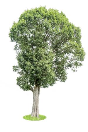 Tree isolated from white background, gardening arrangement concept, gardening Stock Photo