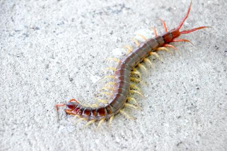 Climb on the floor the centipede