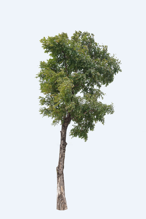 Tree isolated on white background,clipping paths. Stock Photo