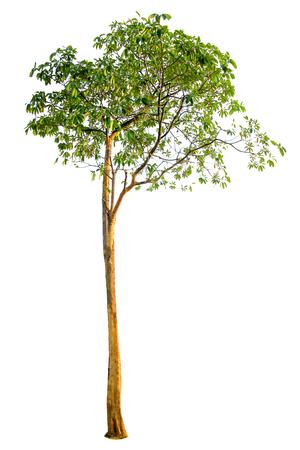 Albero isolato su sfondo bianco