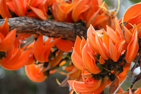 Bastard Teak,Butea monosperma (Lam.) Taub,There are many orange flowers in the North and Northeast of Thailand.