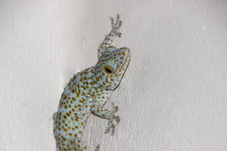 Gecko on a separate white background.