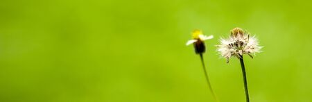 Banner size, grass flowers on a natural green background