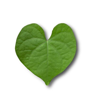 Heart-shaped leaves, green leaves on a separate white background.