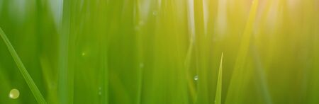 Benner size,Green rice plant pattern background.