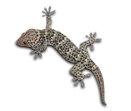 Geckos on a separate white background can be separated.