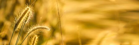 Banner size, golden yellow flowers on the meadow in the morning. Stockfoto