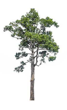 The tree on a isolated white background