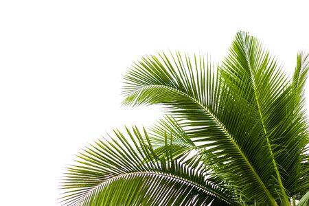 Coconut leaves on a isolated white background Stockfoto