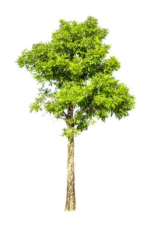 The tree on a white background can be separated,clipping paths. Stockfoto
