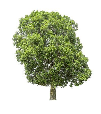 A tree on a white background Archivio Fotografico
