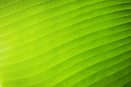 Banana leaves pattern texture background.