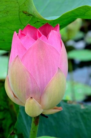 pink lotus: pink lotus in the morning