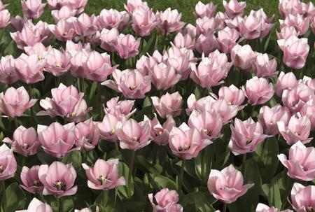 keukenhof: Colorful blossing tulips in Keukenhof park
