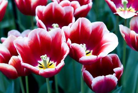 tulipan: Kolorowe tulipany w Keukenhof blossing parku