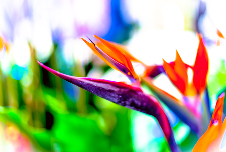 bird of paradise plant: Bird of Paradise flowers in natural background
