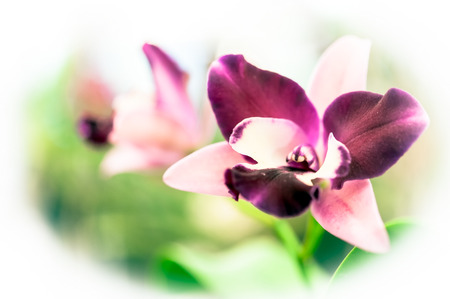 orchidea: Streaked orchid flowers. Beautiful orchid flowers. Stock Photo