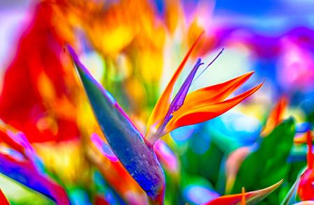 Bird of Paradise bloemen in natuurlijke