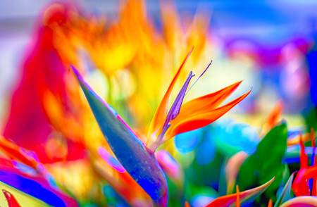 Bird of Paradise flowers in natural