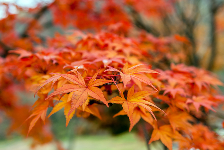beautiful maple leaves in the fall