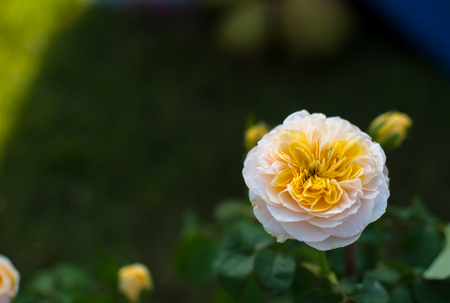 Prachtige rozen achtergrond Boeket rozen in verschillende kleuren Stockfoto