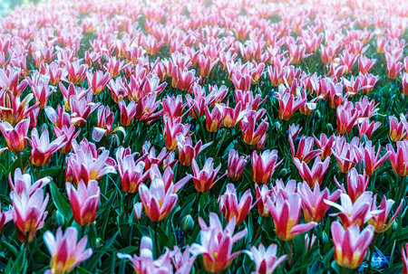 Keukenhof, Lisse, The Netherlands 16.04.2015: Blooming colorful flowerbeds cover the whole garden park. With an open windmill and different plant oriented attractions it's a popular tourist sitecontributor support.