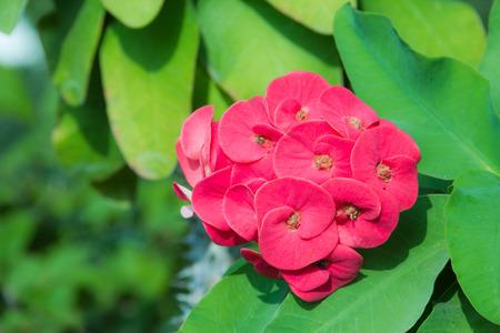 Closeup red poi sian flowers photo