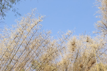 peace pipe: dry bamboo leaves, against blue sky
