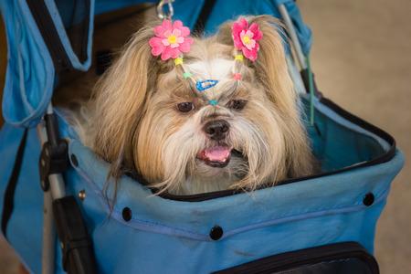 shih: Shih tzu dog lying in stroller