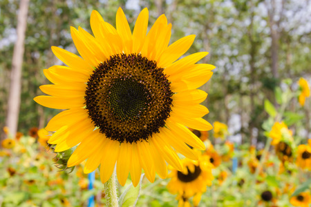 perennial: Sunflowers with perennial plant background