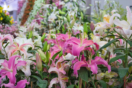 stargazer lily: Lily flower or Stargazer