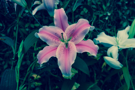 stargazer lily: Lily flower or Stargazer with vintage colors