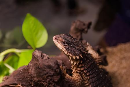 desert lizard: Girdled Lizard