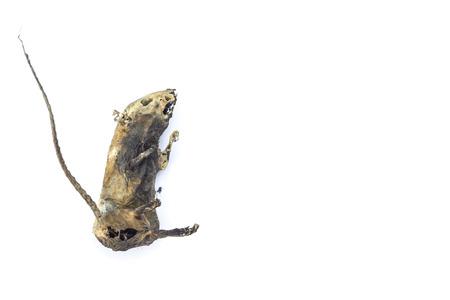 mummified: mummified rat  by nature on white background Stock Photo