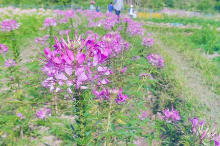 flower spider: spider flower or cleome hassleriana in garden,soft focus