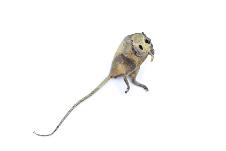 mummification: mummified rat  by nature on white background Stock Photo