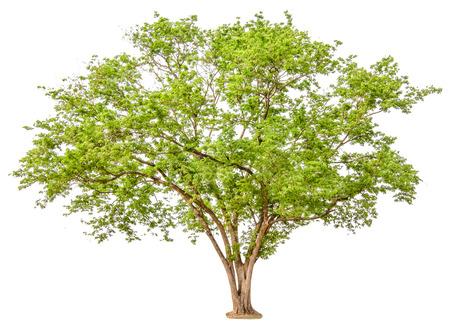 Verde de árboles aislados sobre fondo blanco