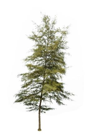 pine trees tropics Stock Photo