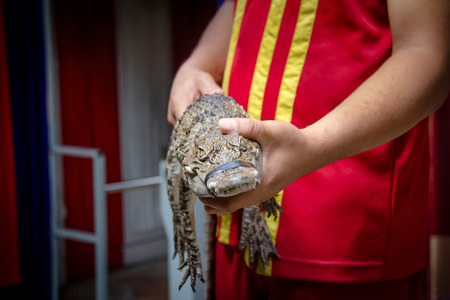 freshwater: Hand holding freshwater young crocodile