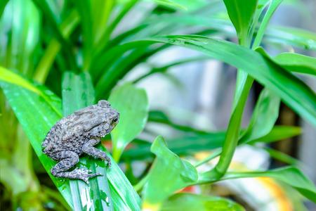 toad on pandan leaves